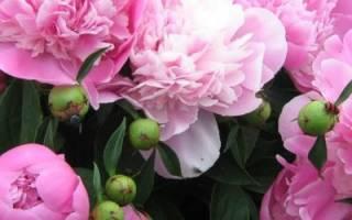 Чем подкормить пионы весной для пышного цветения