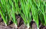 Секреты посадки лука в огороде