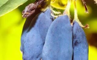 Как ухаживать за жимолостью после сбора ягод