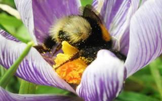 Кому радоваться в саду: лучшие насекомые-опылители