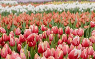 Как прошел Национальный день тюльпанов в Амстердаме