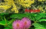 Мимоза розовая, а акация желтая или белая – кто из них кто?