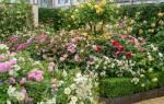 Плетистые, штамбовые или рамблеры: все о видах роз с описанием и фото