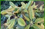Пятнистость листьев рододендрона: самые опасные разновидности и их лечение