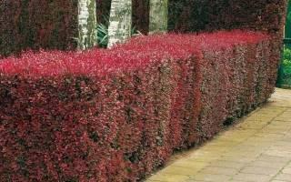 Вкусная живая изгородь: из каких ягодников можно вырастить стену