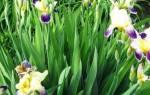 Что делать с ирисами после цветения – обрезка и уход