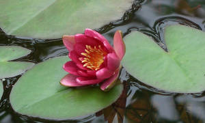 7 возможных причин, почему в пруду не цветут нимфеи