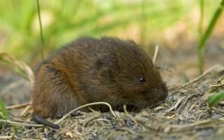 Водяная крыса в огороде – привечать или бороться?