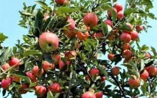 Правильная формировка поможет увеличить урожай яблок в 1,5-2 раза