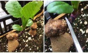 Размножение георгинов зелеными черенками – пошаговая инструкция