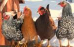 Дачное подворье: лучшие породы кур-несушек для дачи