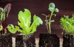 6 основных ошибок при выращивании рассады