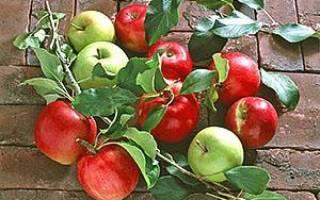 Окулировка, или прививка почкой, – прививаем яблоню летом