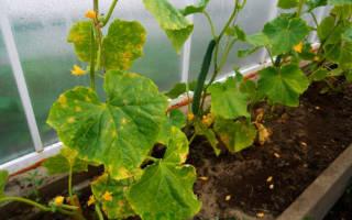 Пероноспороз, или ложная мучнистая роса, – фото, описание, способы лечения