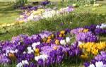 Самые первые – календарь цветения весенних луковичных цветов с марта по май