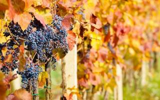 Как подготовить виноград к зиме – все работы в календарном порядке