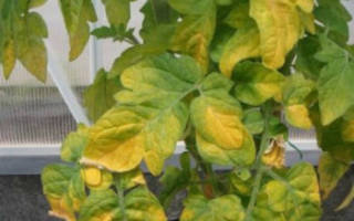 Почему желтеют листья у помидоров в теплице и открытом грунте?