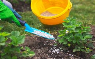 Подкормка садовой земляники (клубники): когда и чем