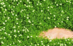 Мшанка – ирландский мох для газона