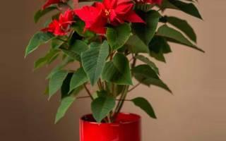 «Рождественская звезда» – как ухаживать за пуансеттией дома