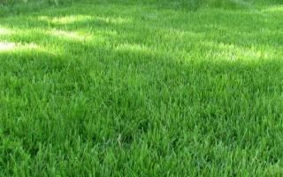 Неприхотливая овсяница для клумб и газона – выбираем сорта и учимся выращивать