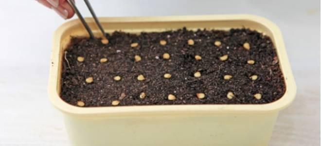 Сеем перцы на рассаду (два способа)