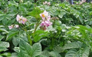 Нужно ли обрывать цветки у картофеля, и зачем это делают