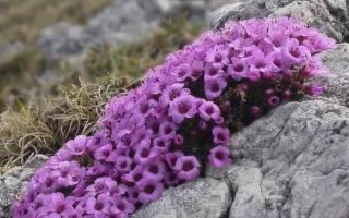 «Ленивый сад»: первоцветы, которые практически не нуждаются в уходе