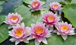 Опасные болезни и вредители водяных лилий