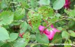 Грибковые болезни роз – профилактика и лечение