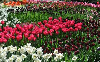 Тюльпаны, Нарциссы