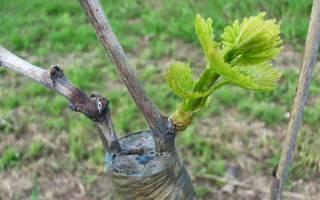 Прививка винограда – пошаговая инструкция для новичков