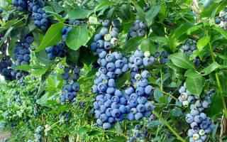 5 веских причин посадить в саду голубику