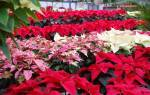 Цветы и декоративные растения с красными листьями – фото, названия, уход