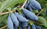 5 причин вырастить жимолость в саду