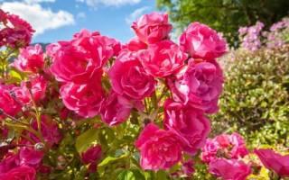Календарь розовода: как ухаживать за розами круглый год