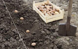Выращивание картофеля по Лунному календарю 2020