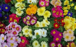 Примула садовая – особенности ухода за растением
