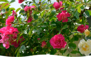 Как правильно укрыть розы на зиму – лучшие варианты зимнего укрытия