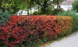 Создание живой изгороди из боярышника