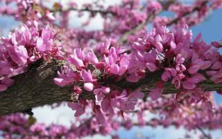 Церцис, или багряник: популярные виды и особенности выращивания