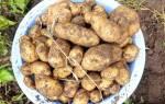 Как собрать 10 кг картофеля с 1 кв.м (выращивание по методу Квартальновой)