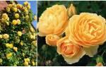 Новые сорта роз Дэвида Остина сезона 2018