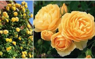 3 новых сорта роз Дэвида Остина 2017 года