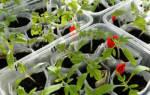 Как правильно пикировать рассаду томатов