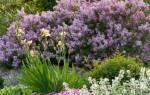 Уход за сиренью весной – памятка цветоводу