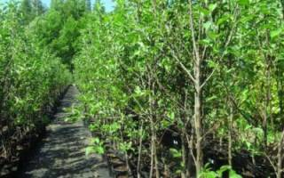 Что нужно знать при покупке саженцев декоративных растений – полезные советы