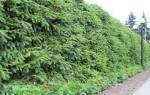 Растения для живой изгороди – выбираем, сажаем, ухаживаем