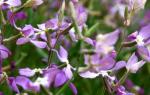 Что посадить в цветнике, чтобы наполнить сад незабываемым ароматом