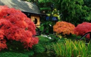 Цветные клены – необычный акцент на загородном участке